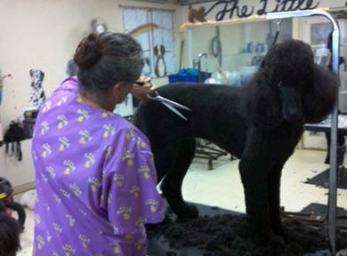 Show Dog Poodle Being Groomed