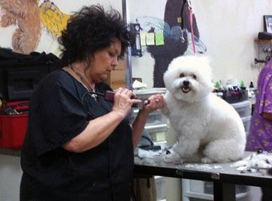 Toy Poodle Being Groomed