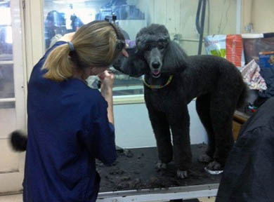 Standard Poodle Being Groomed